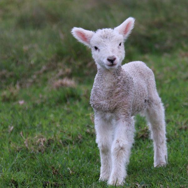 Lambing Essentials